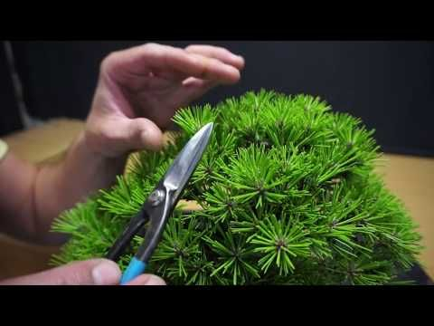 pino negro japones // mekiri - YouTube