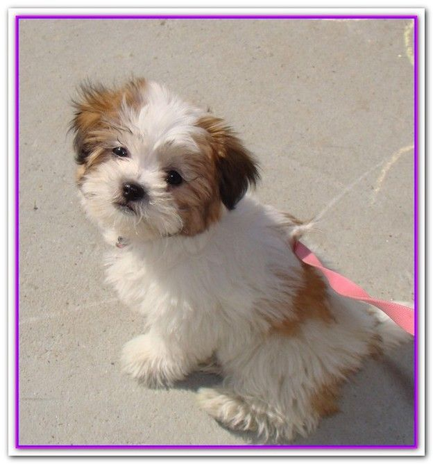 Shih Tzu Bichon Frise Mix Puppy For Sale In Overland Park Kansas Sully Shih Tzu Puppy Shih Tzu Morkie Puppies