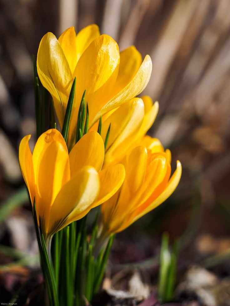 Yellow Crocus by Wayne Bingham on 500px