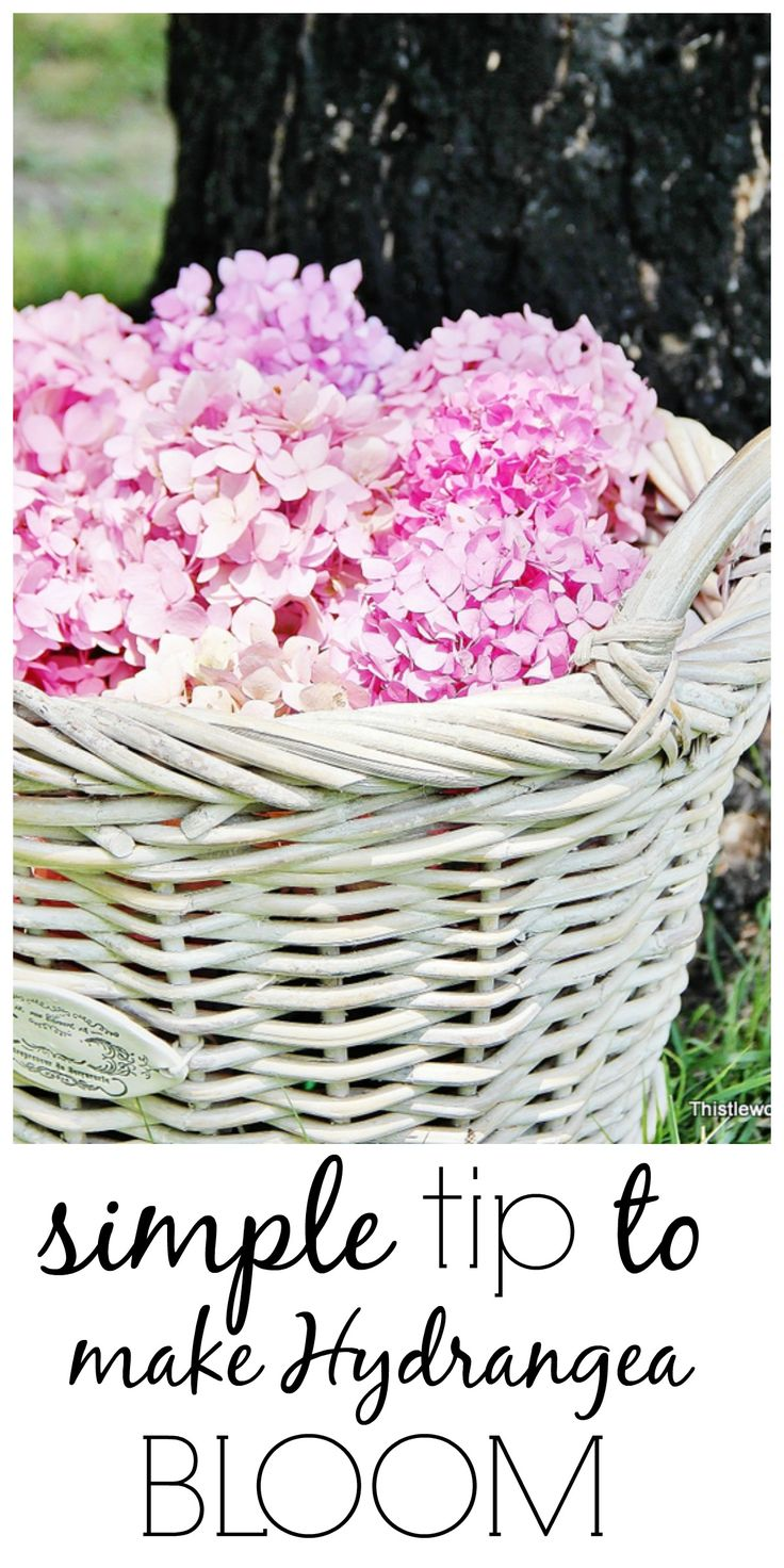Have hydrangea that won't bloom?  Here's a simple tip to help encourage them.