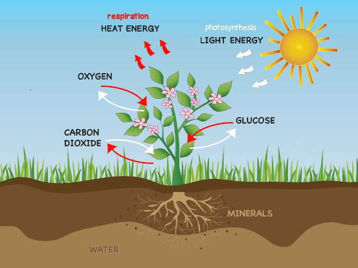 photosynthesis simple Here is an easy way to explain the process of photosynthesis to your first grader he'll see a simple diagram to help understand the concept, and then he'll fill in the blanks at the bottom to show how much he's learned.