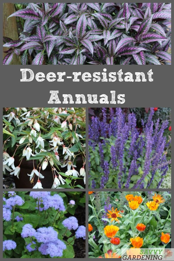 Deer Resistant Annuals Colorful Choices For Sun And Shade Deer Resistant Shade Plants Deer Resistant Garden Deer Resistant Annuals