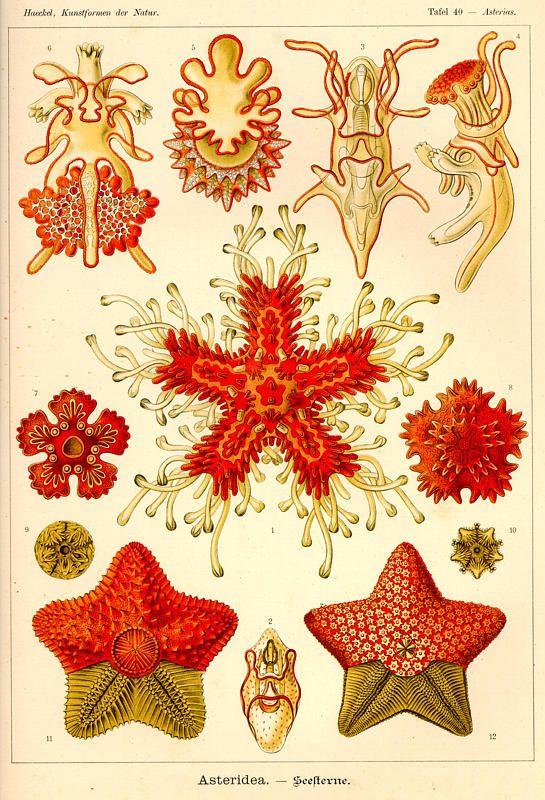 Ernst Haeckel, Kunstformen der Natur (1904), Tafel 40 {Starfish and other cephalopods}