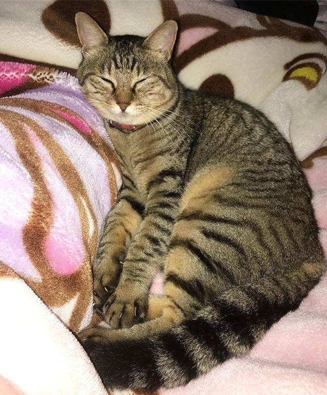 実家からおはようございます☀ ミーちゃん、足を枕にして寝てる😂💕 可愛すぎて帰りたくない😹笑 . この前の家出でお尻ペンペン(と言う名のタッチ)をして、みなさんが心配していたのをよーーーく言い聞かせました😑 . #猫 #猫部 #キジトラ #親バカ部 #愛猫 #ミー #cat #catstagram #instacat #kitten #petstagram #lovecats #tabby #mii_chan #love #instagood #followme #like4like #instadaily #f4f #instaphote #goodstagram #photooftheday #webstagram #l4l