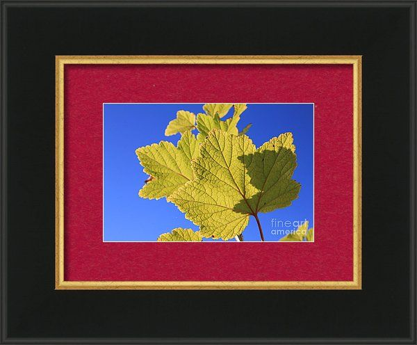 Ribes Rubrum Framed Print featuring the photograph Red Currant Leaf Against Blue…