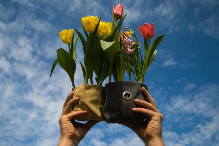 como plantar tulipanes en una maceta