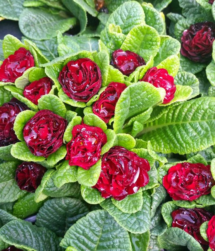 90 Best Primrose Images On Pinterest Beautiful Flowers