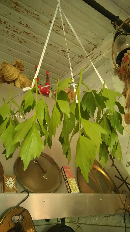 Uuden sadon liperi eli lipstikka kuivumassa keittiön katossa.    Drying of Levisticum officinale.