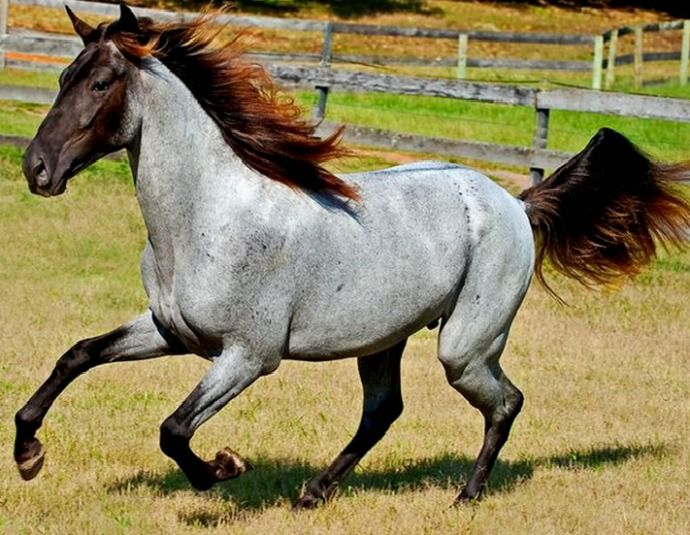 Rocky Mountain Horse gelding, Little Joe. This funky, fabulous, and rare color is chocolate roan. Silver dapple and roan genes acting on a black coat. I see dun in there also though it wasn't mentioned. photo: equestrian images.