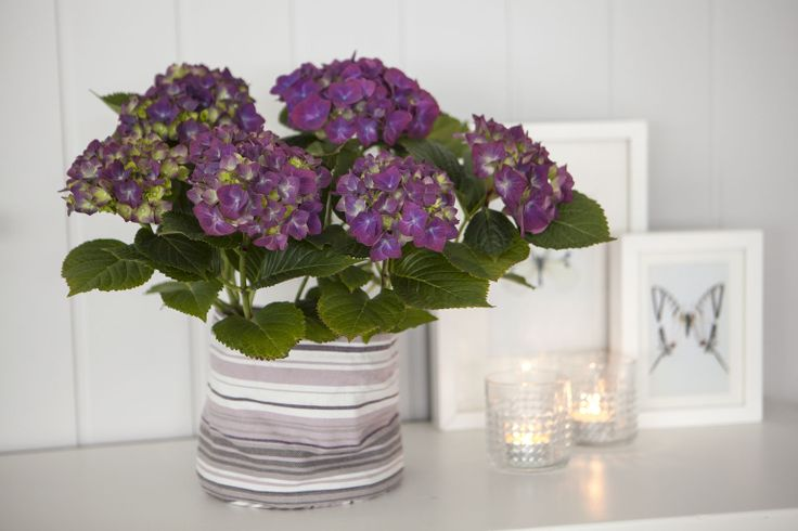 Hortensia i grow-in selvvanningspotte: http://www.mestergronn.no/blogg/grow-in-potter-i-nye-farger/