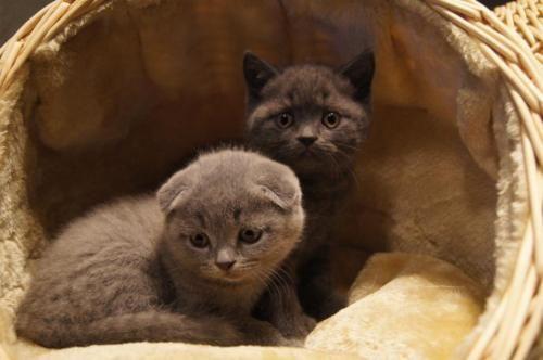BKH kitten In blau in Nordrhein-Westfalen - Bocholt | Britisch Kurzhaar Katzenbabys kaufen | eBay Kleinanzeigen