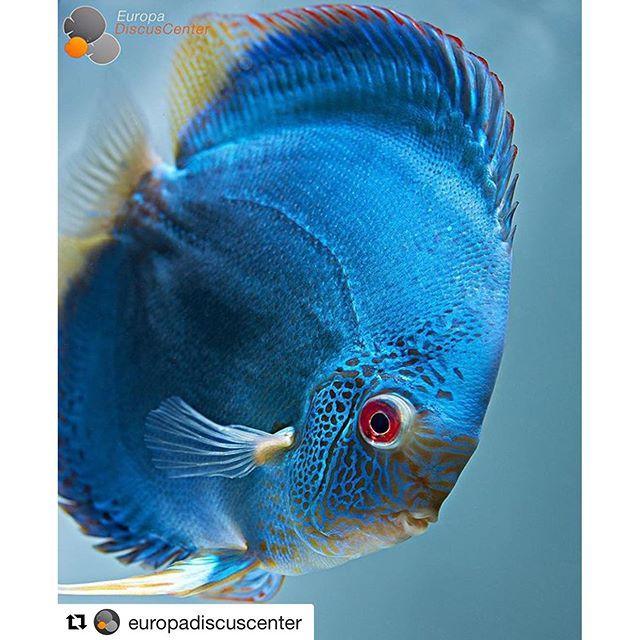 【aqualogo】さんのInstagramをピンしています。 《Фото #Repost @europadiscuscenter Blue Diamond Snake #discus #diskus #diskusfische #aquarium #symphysodon #tropicalfish #discusfarm #discusfish #fish #discusbreeding  #fishfarm #fishtank #fishkeeper #freshwater #discushatchery #freshwaterfish #ディスカス #アクアリウム #魚 #水槽 #熱帯魚 #tropical #breeding #breedingfarm #cichlids #cichliden #cichlid #七彩神仙》