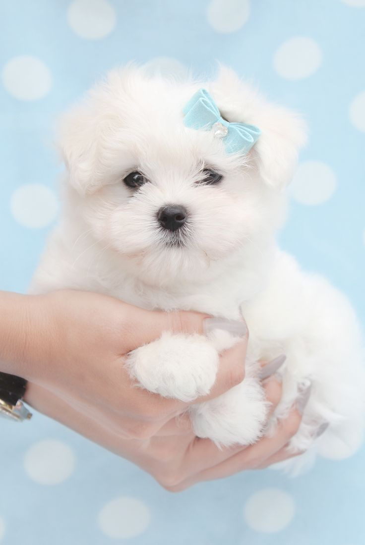 Teacup Maltese puppy with adorable blue bow and loving brown eyes.