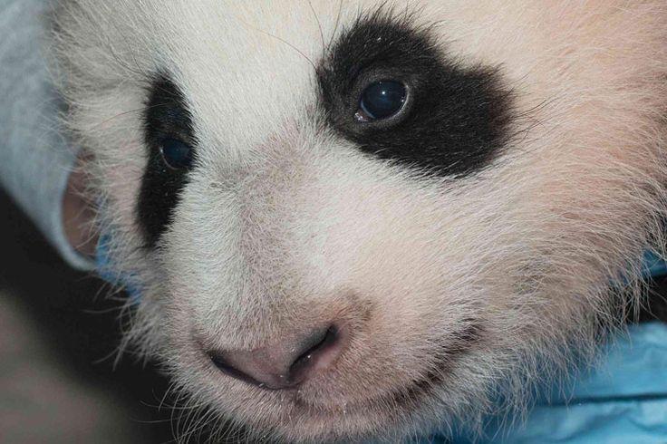 """""""Bao Bao"""" es la nueva bebé panda del zoológico de Washington"""