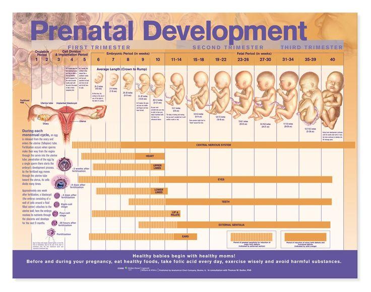 Desarrollo prenatal   Prenatal Development Chart - Foetal Development Poster - MedicPrint -