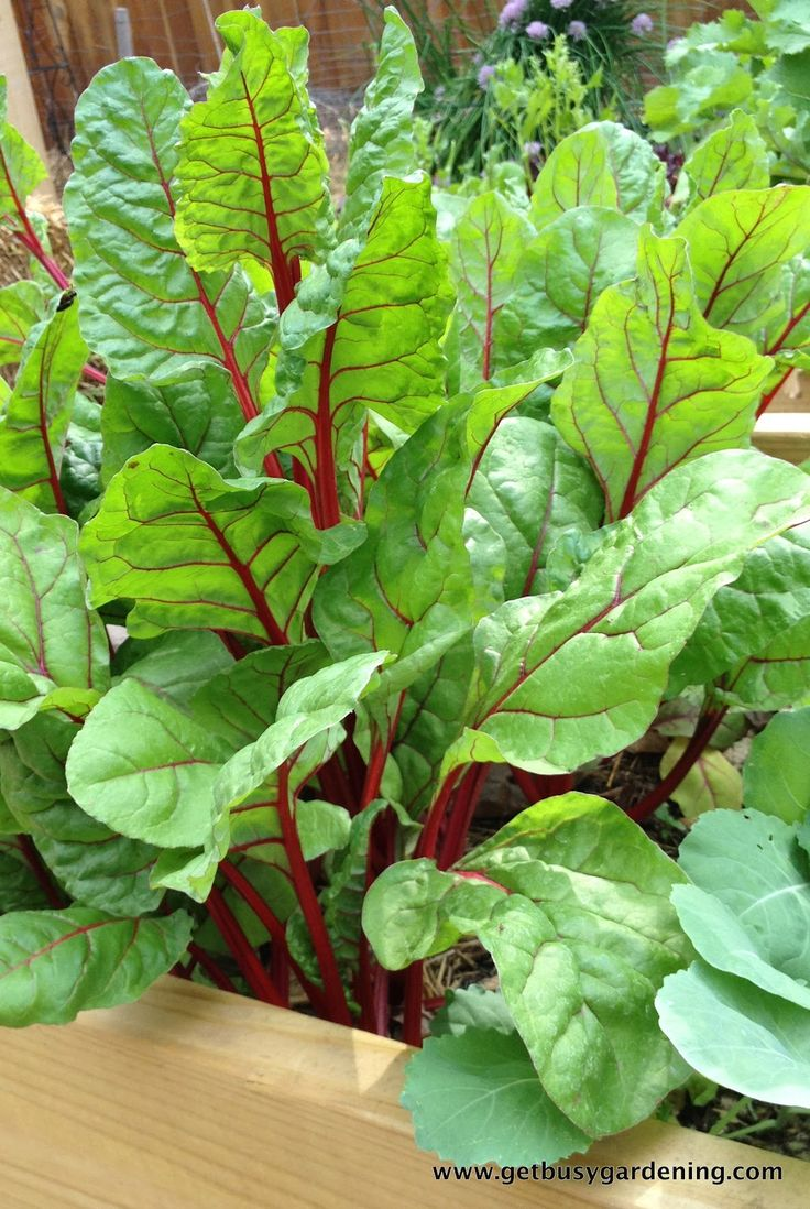 Swiss chard & other veggies growing in part shade