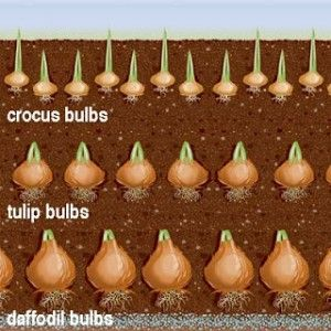 Flower Bulbs – Planting in Layers for a Continuous Blooming Flowers » The Homestead Survival