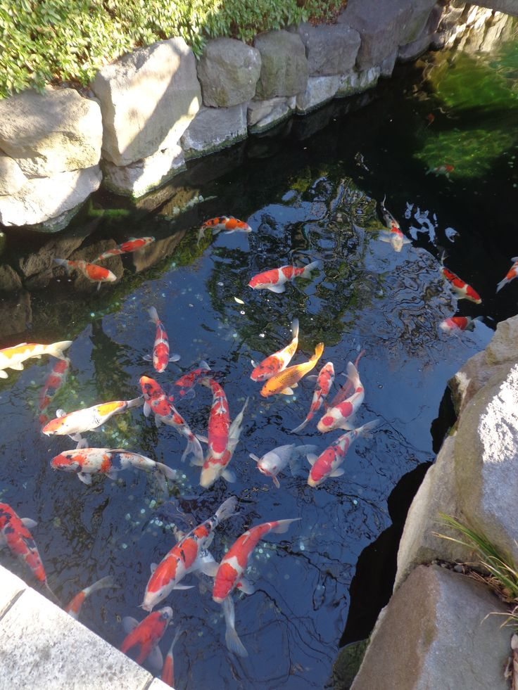 50 best beautiful koi ponds images on pinterest water for Best koi pond