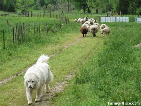 Livestock guardian dog Daisy leads the flock down the driveway, from this week's Friday Farm Fix (1 of 24 photos)  - Farmgirl Fare
