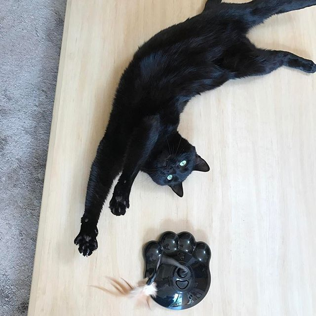 Makes me so happy when my baby accepts my gift💕😻日本からのお土産だよー🇯🇵 . . . . . #cat #blackcat #burmese #cattoy #madeinjapan #pussycat #cute #lovecat #catstagram #meaw #paws #souviner #petsagram #猫 #黒猫 #可愛い #愛猫 #バーミーズ #ペット #にゃんこ #長い猫 #日本のお土産 #インスタ猫 #猫玩具 #日本製