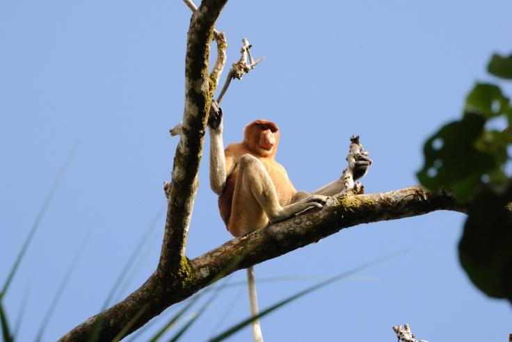 El Mono Narigón tiene 3 peculiaridades: su gran nariz, que puede medir un cuarto de su cuerpo (dicen que eso lo hace irresistible a las hembras), un estomago abultado para procesar alimento que comúnmente no puede comer otros primates (no se recomienda fruta azucarada, pueden morir), y patas con membranas, lo que facilita nadar y caminar en lodazales. Buscan lo más alto de los árboles, pero ahí no están a salvo de su mayor depredador: el hombre. Esta es una especie en peligro de extinción.