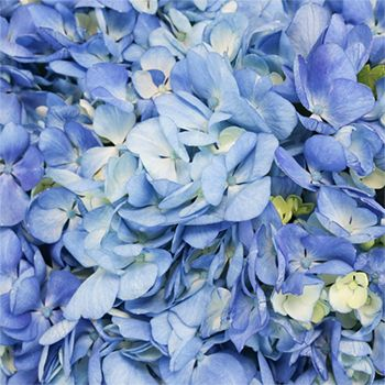 FiftyFlowers.com - Shocking Blue Premium Hydrangea Flowers