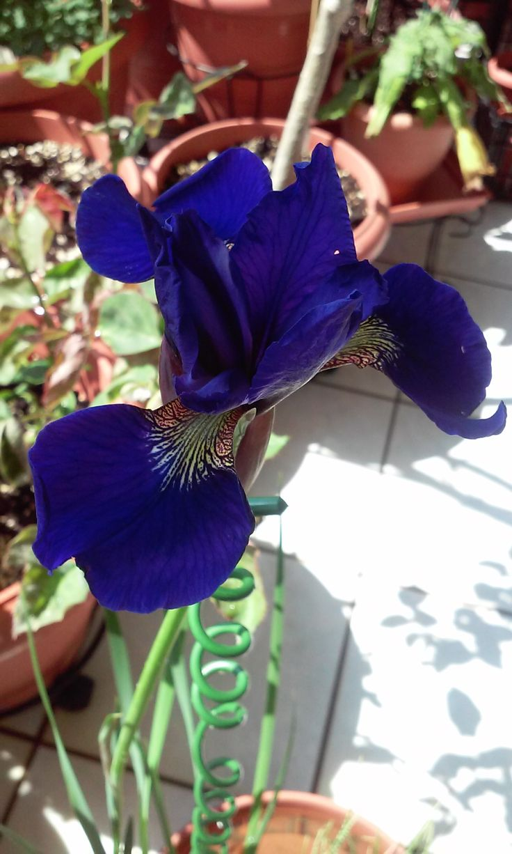 Iris tridentata (?) 25/4/2015