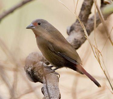 Cameroon Trip Report 2009: Bird Watching Tour with BIRDING AFRICA ...