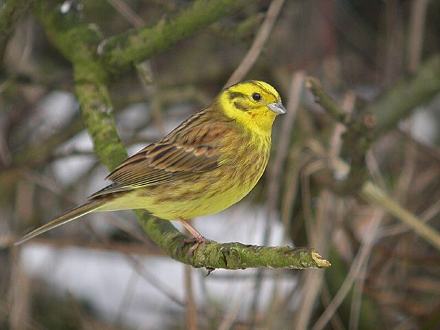 yellowhammer bird coloring pages - photo #43