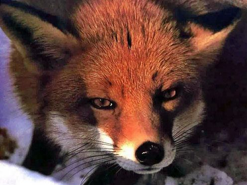 All Totems | Spirit Animal Meanings and Symbolism – Fox Spirit Meaning, Symbols, and Totem