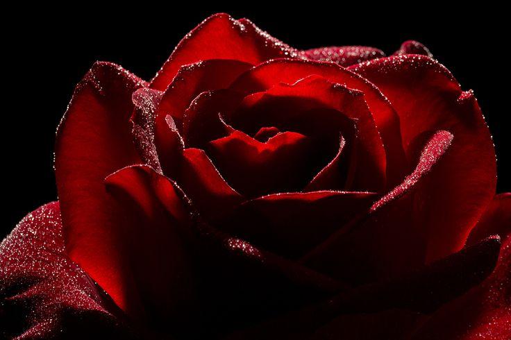 Rote Rose von Mario H aus R