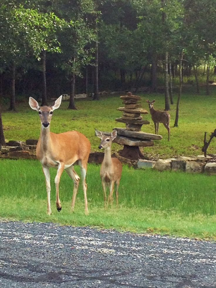 Deer in the brazos Valley