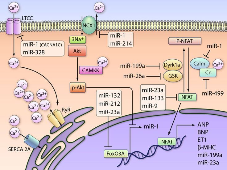 microRNA | Circulation Research Image Gallery