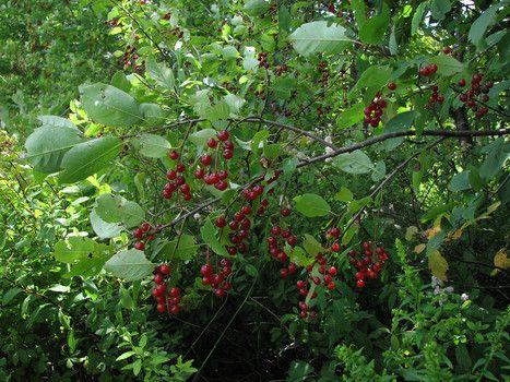 23 Best Choke Cherry Recipes Images On Pinterest Cherry