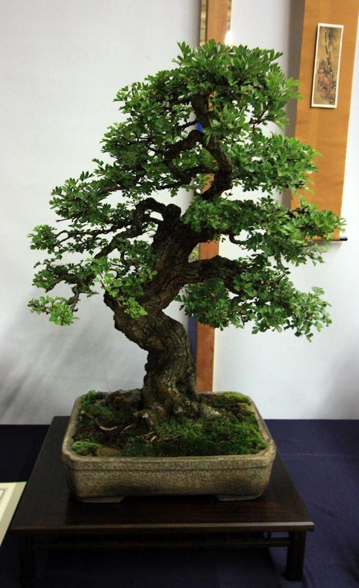 Hawthorn Tree Bonsai 326 best EUROPEAN BONSAI