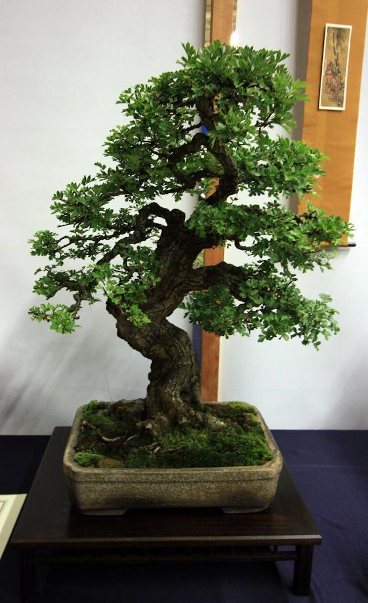 17 best ideas about bonsai baum on pinterest a thousand years zen kunst and japanische b ume. Black Bedroom Furniture Sets. Home Design Ideas
