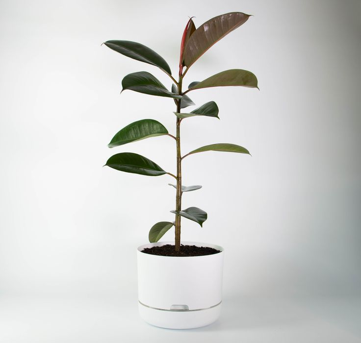 Tall, dark and handsome, this Rubber Tree - perhaps the perfect indoor plant - is combined with a chic white self-watering planter. A NZ favourite.