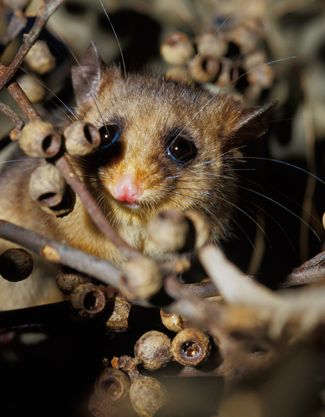 A new population of mountain pygmy possums, like this one, has been discovered at lower elevations. (Photo: Getty)