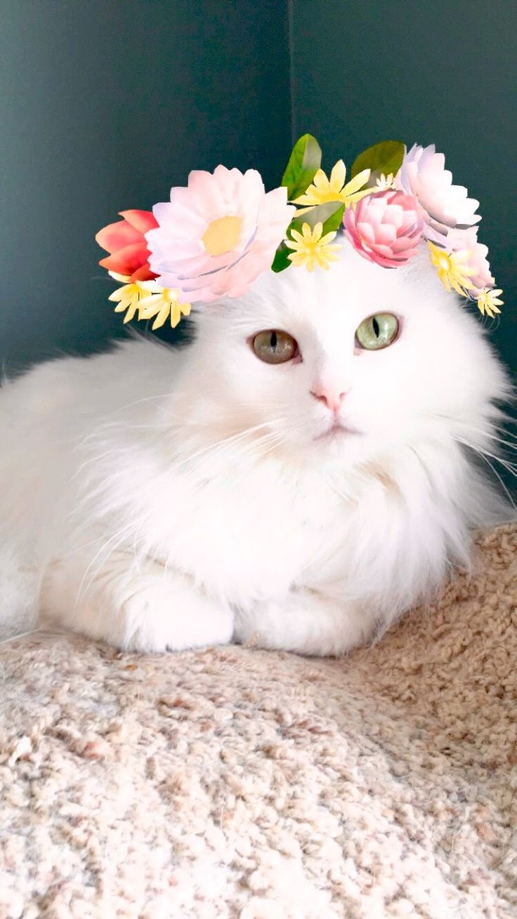 follow me on IG missbettywhite2009 #cat #lol #whitecat #betch #bitch #longhairdontcare #funny #humor #animals #pets #rescue #bettywhite #snapchat #flower #flowers #halo #floralhalo #blue #daisy #peony