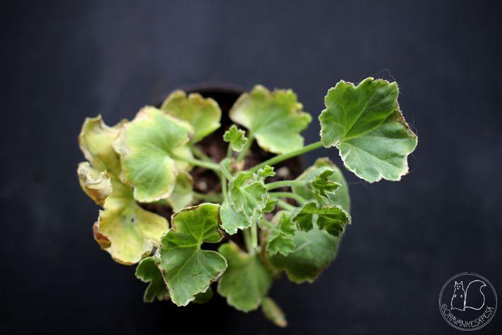 Oravankesäpesä | Koristelehtipelargoni Pelargonium 'Melosilver'