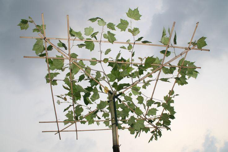 39 beste afbeeldingen over dakplatanen op pinterest tuinen planes en marcel - Wijnstokken pergola ...
