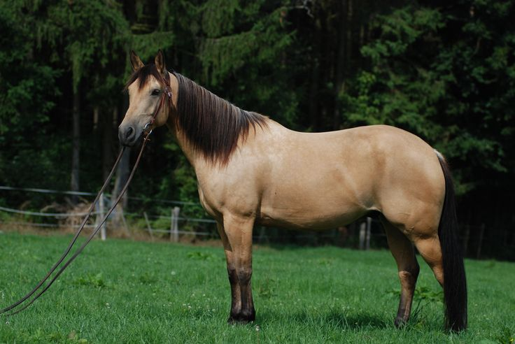 American Quarter Horse - Wikiwand                                                                                                                                                                                 More