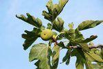 How to Propagate Ficus Pumila (12 Steps) | eHow
