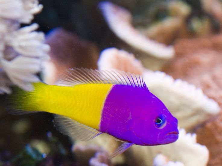 Saltwater Fish for sale, Tropical Fish, Marine Fish - www.