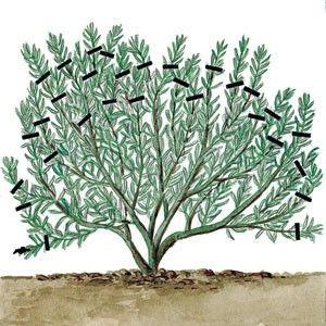 Tailler toutes les branches de lavande - Rustica