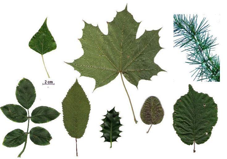 127 best images about herbarium on pinterest mauve - Reconnaitre les arbres par leur tronc ...