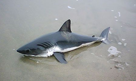 Google Image Result for http://1.bp.blogspot.com/_5xJVl5Y9p-Y/S6wFL6R3BxI/AAAAAAAABbw/amphglgj9KU/s1600/baby-great-white-shark.jpg