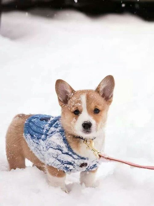 Snow-encrusted Corgi