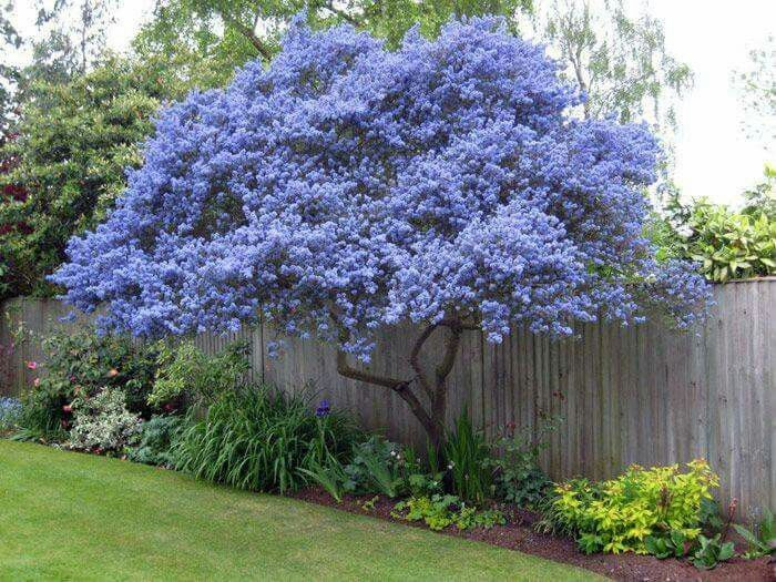 71 best images about flowering ornamental trees on for Small decorative evergreen trees