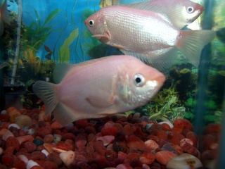 17 best images about all things gourami fish on pinterest for Best community fish